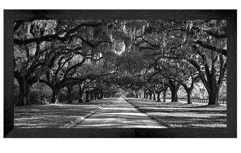 Oaks along road